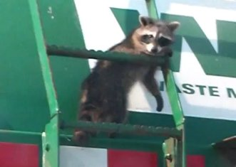 Raccoon-Riding-a-Trash-Truck